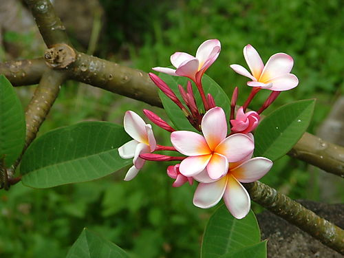 Sweet Plumeria